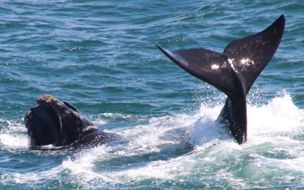 <h2>whale watching in gaansbaai</h2>Southern right whales spend the summer months feeding around Antarctica<br>  and then migrate thousands of kilometres to the sheltered bays of South Africa to mate and calve. <br> They can be seen along the coast between June/July and December.